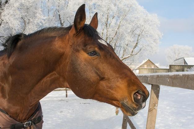 Um cavalo caminha no paddock no inverno