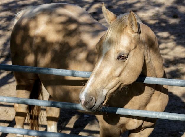 Um cavalo castanho claro em um rancho no interior