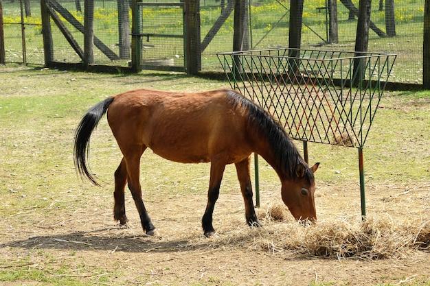 Um cavalo marrom comendo feno na fazenda sozinho