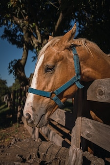 Um cavalo marrom espia por trás de uma cerca de madeira perto das árvores.