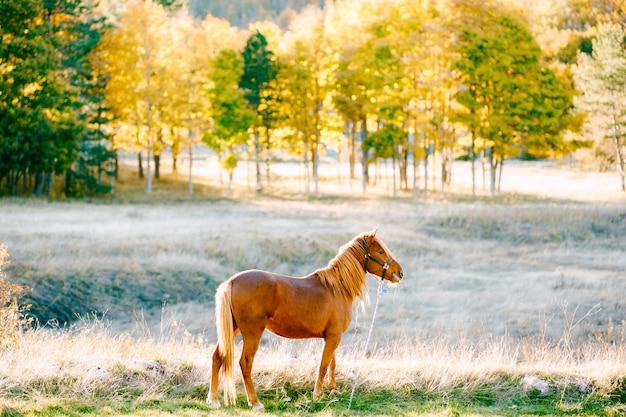 Um cavalo marrom no cenário de uma floresta de outono sob o sol dourado