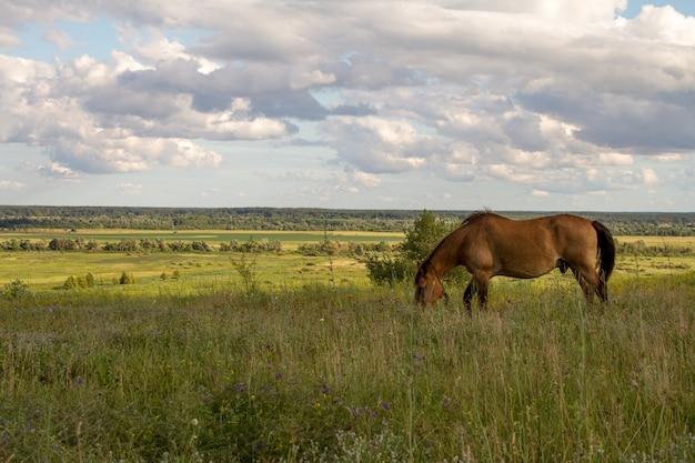 Um cavalo marrom pasta em um prado e come grama
