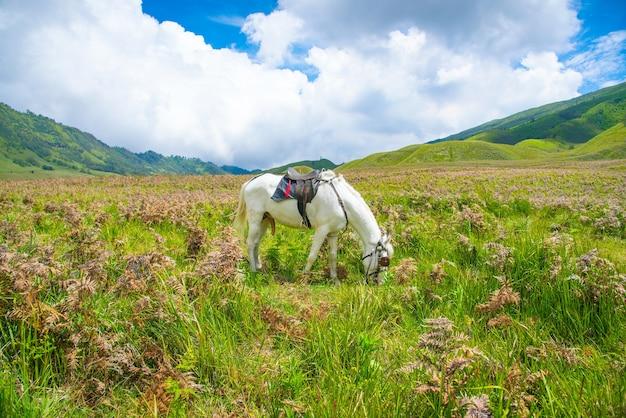 Um cavalo tenggerese local em bromo