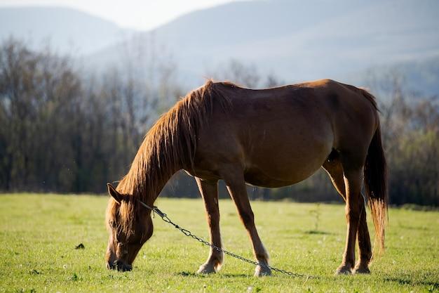 Um cavalo vermelho solitário está comendo grama fresca em um cenário de criação de gado nas montanhas altas