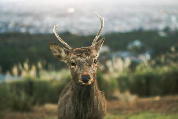 Um cervo bonito é entrar em contato com os olhos