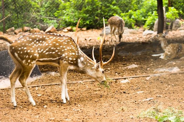 Um cervo cervus elaphus cervo com novos chifres crescendo de frente para a câmera na natureza do verão