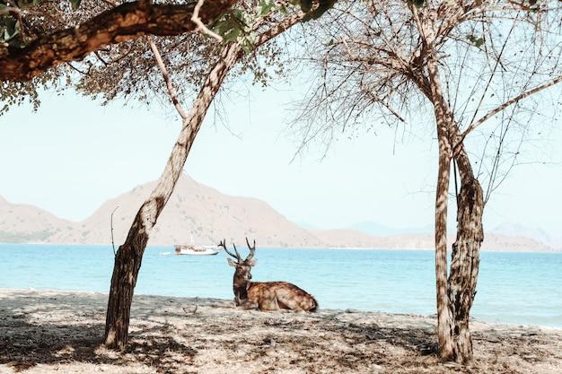 Um cervo descansando sob a árvore com o mar ao fundo