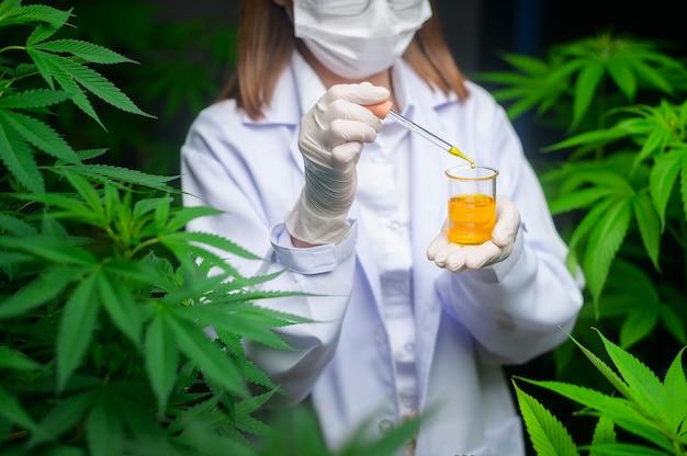 Um cientista está verificando e analisando um experimento com cannabis, segurando um copo de óleo cbd em um laboratório