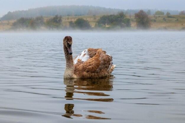 Um cisne branco e gracioso flutua nas águas calmas do lago no meio do nevoeiro.