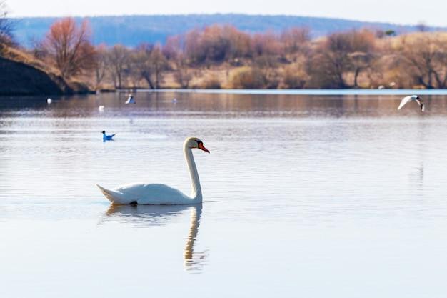 Um cisne branco flutua no rio, um cisne solitário na água