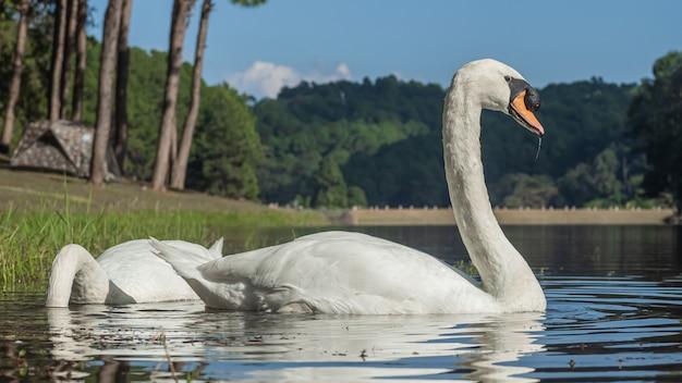 Um cisne branco nadando na água