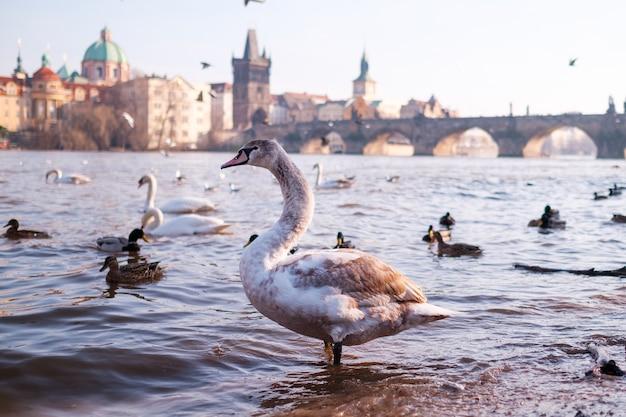 Um cisne branco no rio vltava da ponte carlos em praga.