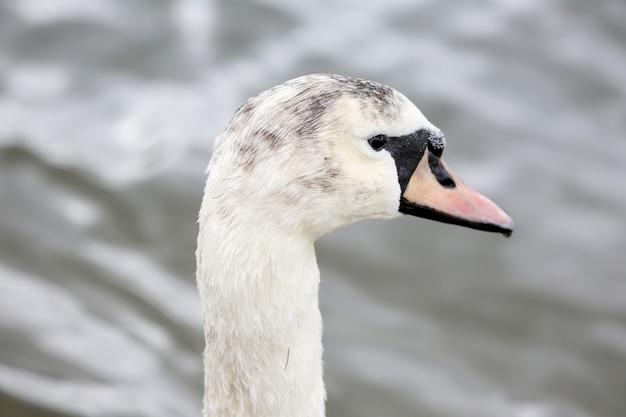 Um cisne com cabeça escura