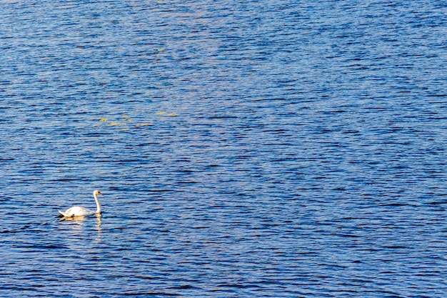 Um cisne solitário em um barco fluvial.