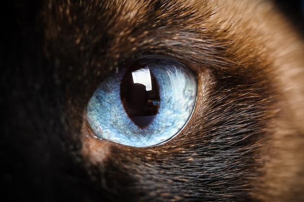 Um close de macro de olho de gato siamês