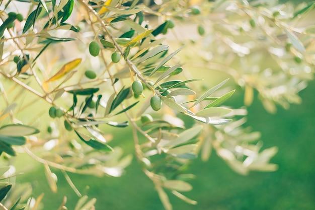 Um close de uma azeitona verde em um galho de árvore entre a folhagem contra um fundo verde