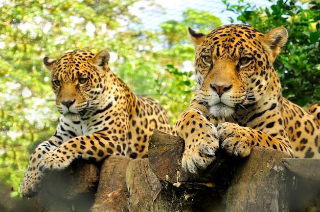 Um close-up da cabeça de um jaguar adulto na floresta amazônica