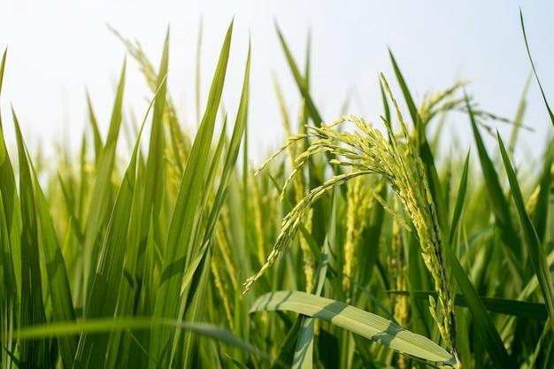 Um close-up de arrozais verdes arrozais pela manhã