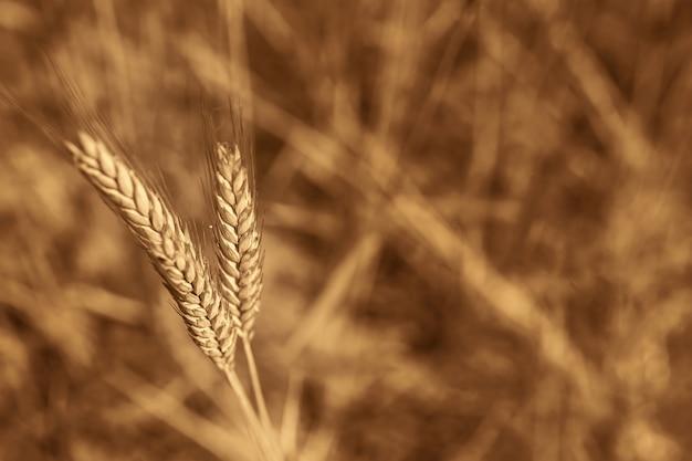 Um close-up de espigas de trigo, no contexto de um campo, é amarelo