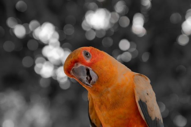 Um close-up de um periquito pescador fofo. o pássaro é verde, amarelo e vermelho.