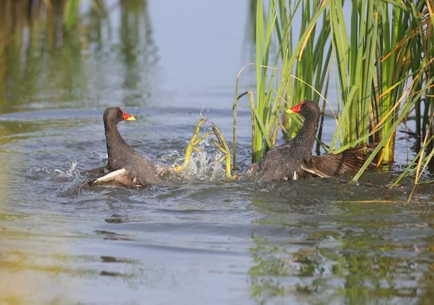 Um close-up de uma luta entre dois homens-galinha-d'água na água. imagens dinâmicas e incomuns