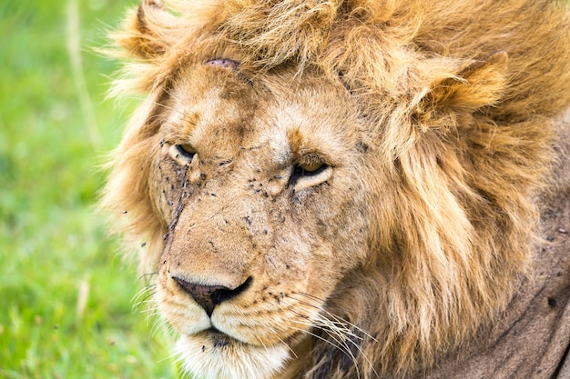 Um close-up do rosto de um leão na savana do quênia