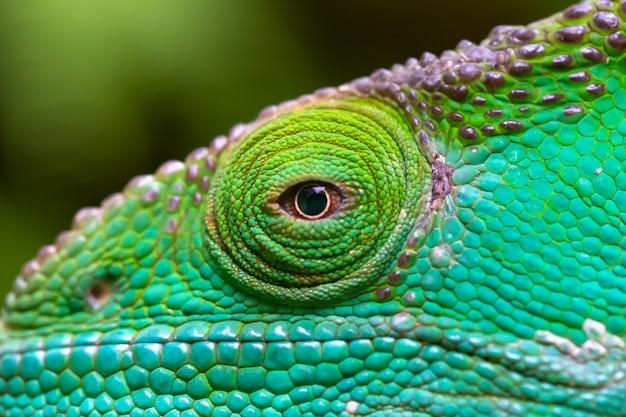 Um close-up, macro, de um camaleão verde