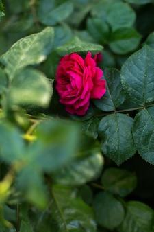 Um close-up vista frontal rosa vermelha junto com arbustos verdes