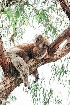 Um coala dormindo em um galho perto de eucaliptos.