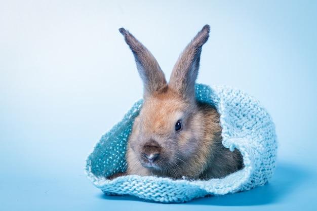 Um coelhinho fofo e fofo se esconde em um chapéu de malha azul no azul