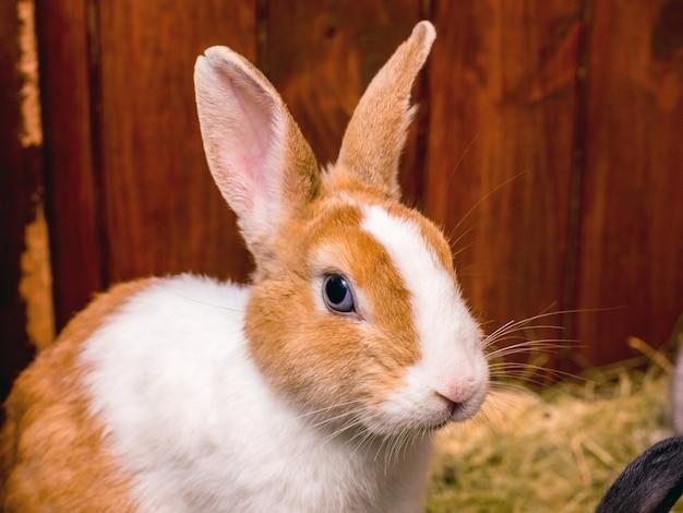 Um coelho branco com manchas laranjas sentado em uma gaiola