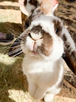 Um coelho com orelhas em pé fica nas patas traseiras e olha diretamente para a câmera