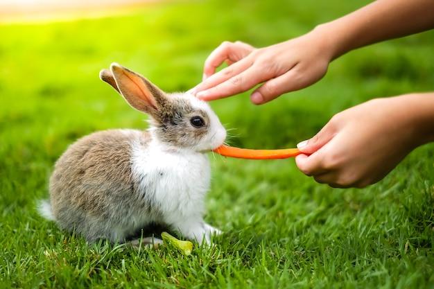 Um coelho comendo cenoura na grama verde por mão humana.