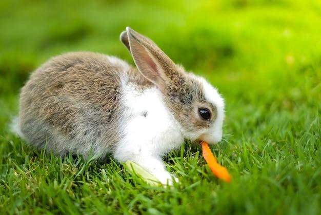 Um coelho comendo cenoura na grama verde.