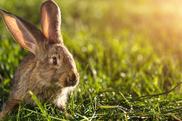 Um coelho doméstico na grama ao pôr do sol. criação de coelho