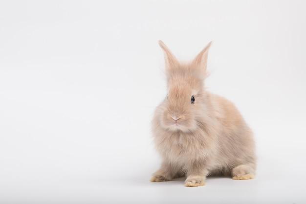 Um coelho fofo com pelo fofo marrom, deitado sobre um fundo branco no estúdio.