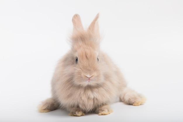 Um coelho fofo com pelo fofo marrom, um grande corpo gordo deitado sobre um fundo branco no estúdio.