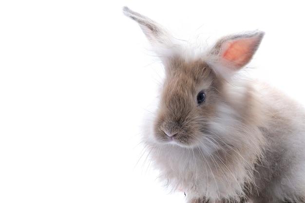 Um coelho marrom isolado em um branco