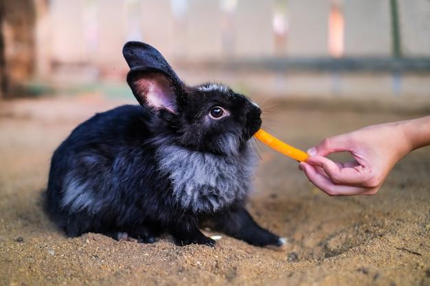 Um coelho preto comendo cenoura da mão humana no jardim.