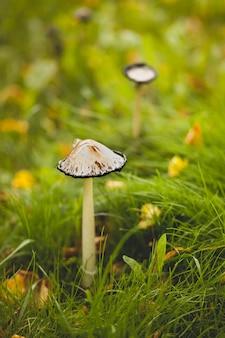Um cogumelo comestível perigoso venenoso cresce na grama verde. .
