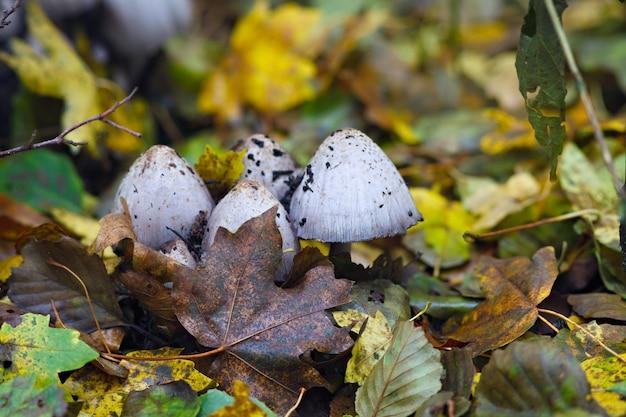 Um cogumelo venenoso é fotografado de perto na floresta.
