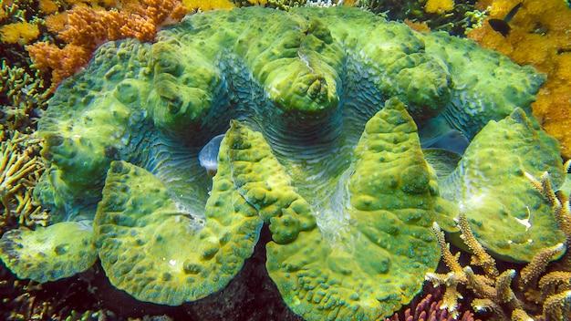 Um colorido molusco gigante tridacna gigas cresce nas águas rasas de raja ampat, indonésia.