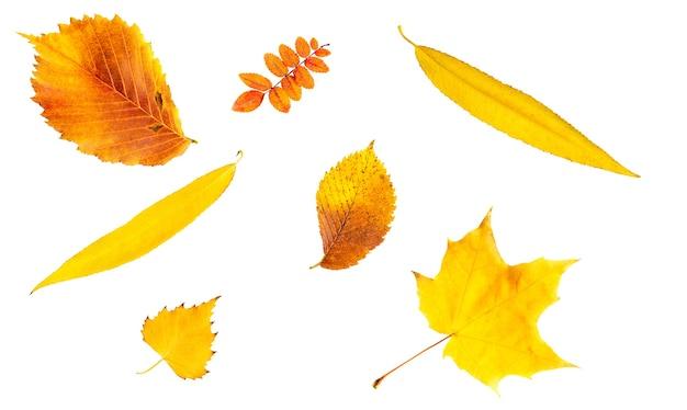 Um conjunto de amarelo, vermelho, laranja folhas secas de outono caídas do olmo, vidoeiro, bordo, rosa mosqueta, salgueiro em um fundo branco é um isolado.