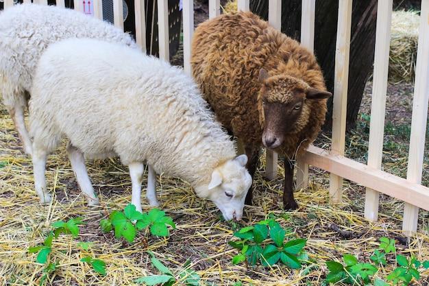Um cordeiro com lã branca e um cordeiro com peles marrons estão no feno
