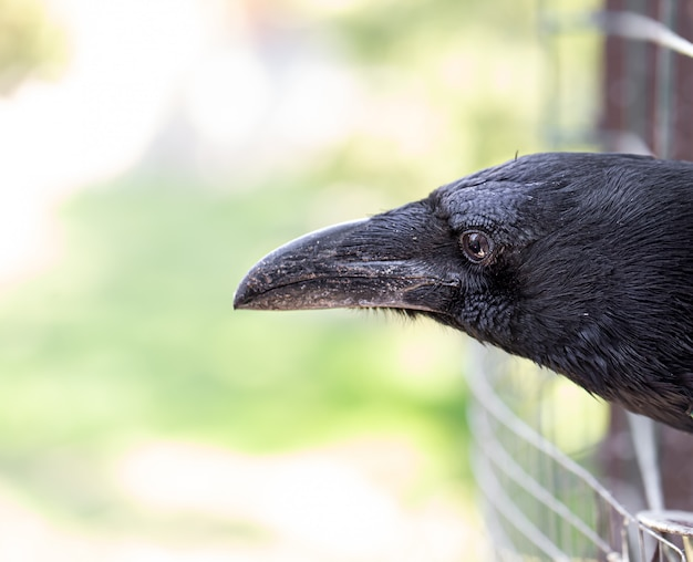 Um corvo doméstico olha para fora de sua gaiola.