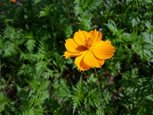 Um cosmos de enxofre ou amarelo cosmos flor em plena floração com suas folhas verdes no jardim