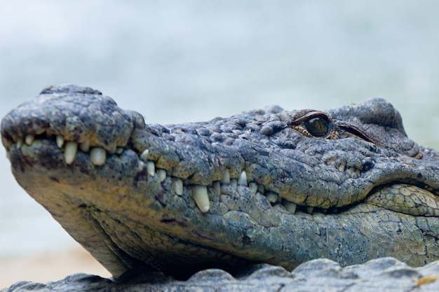 Um, crocodilo nilo, crocodylus, niloticus