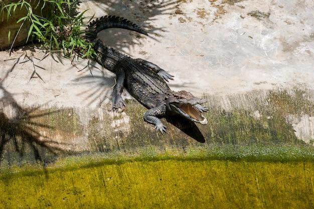 Um crocodilo se aquece em terra sob a sombra do buraco de abertura de palmeiras