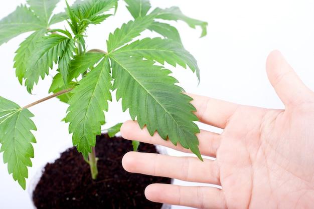 Um cultivador examina as folhas de uma planta de cannabis para detectar doenças, mãos e folhas de maconha