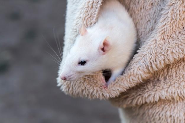 Um curioso rato branco espreita do bolso da jaqueta de uma mulher.